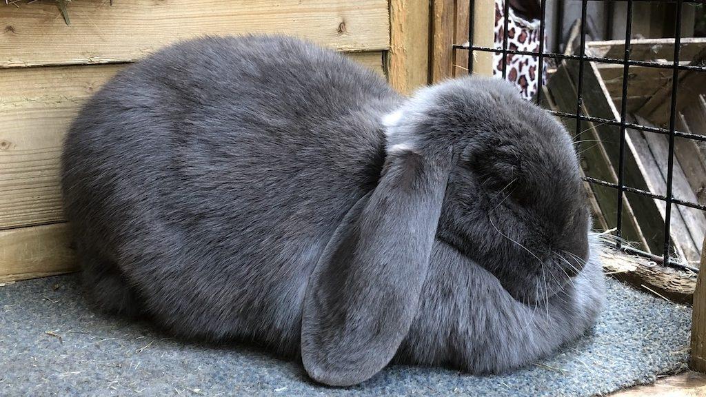 Hangoor konijnen meer kans op problemen