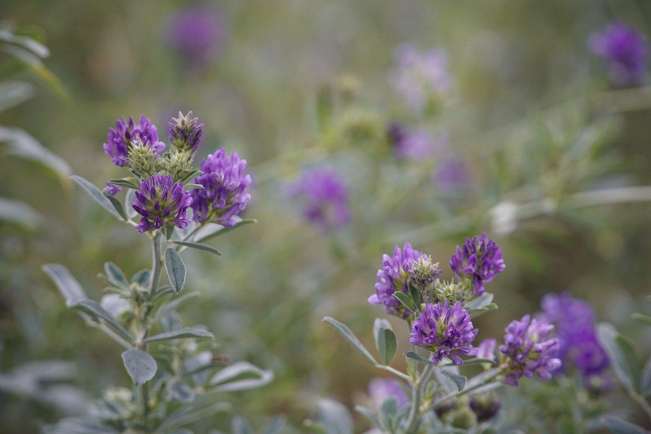 Foto van Luzerne op het veld
