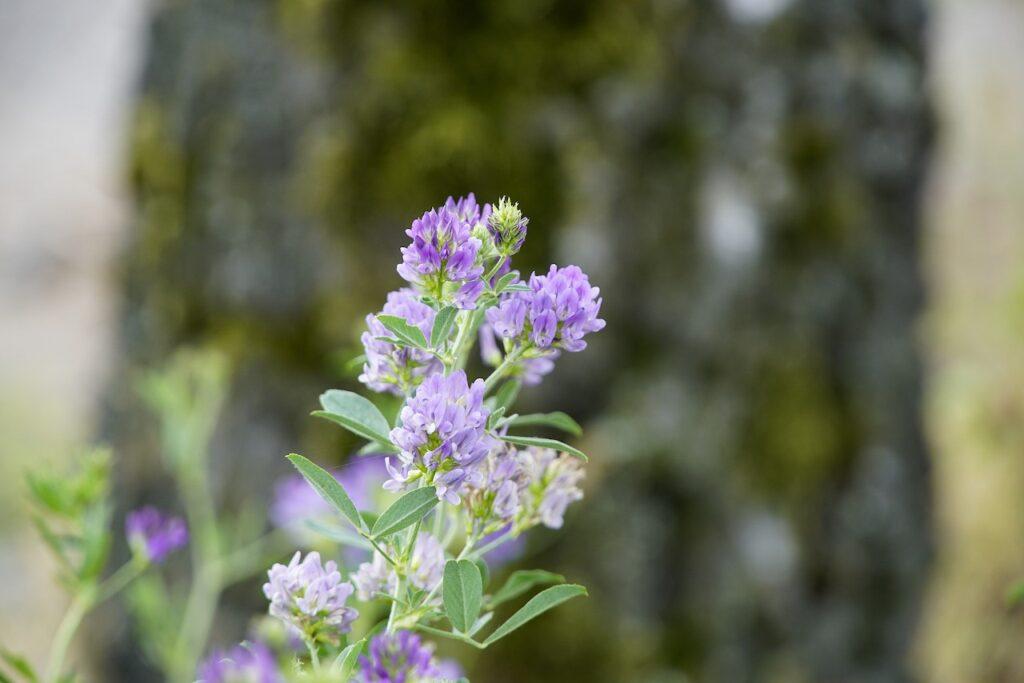 Detailfoto van luzerneplant