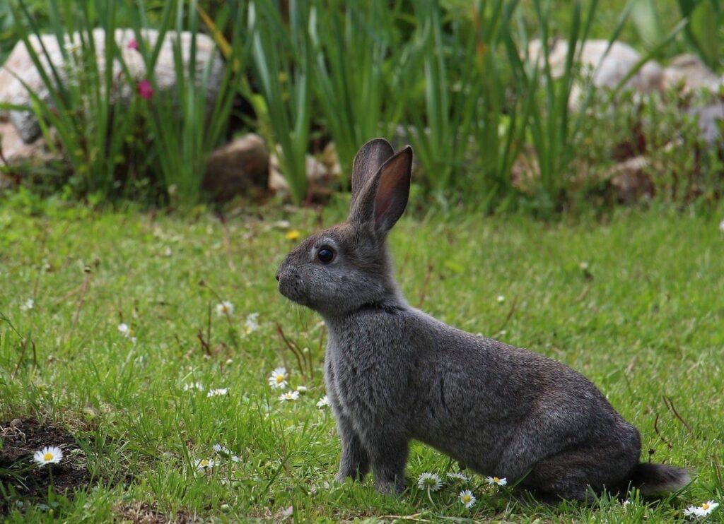 Foto van een konijn in de tuin. Let wel op met energierijk voorjaarsgras