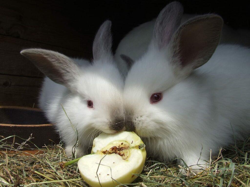 Foto van 2 konijnen met een appel. Ook veel soorten fruit bevat (te) veel suiker en is daardoor ongeschikt als snack.